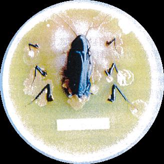 ゴキブリの体からこんな病原菌が発見されています